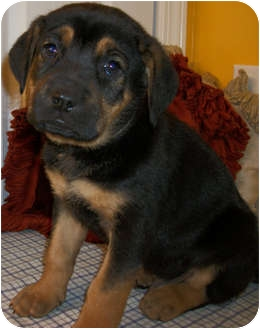 Boxer/German Shepherd Dog Mix Puppy for adoption in Struthers, Ohio - Hercules