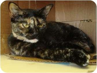 Domestic Shorthair Cat for adoption in Arkadelphia, Arkansas - Carmen
