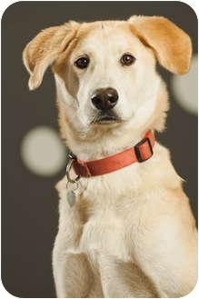 Labrador Retriever/Husky Mix Dog for adoption in Portland, Oregon - Baby Salinas