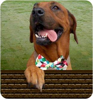 Redbone Coonhound/Rhodesian Ridgeback Mix Dog for adoption in Long Beach, California - MORENA