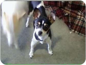 Rat Terrier Mix Dog for adoption in Reno, Nevada - Phoebe