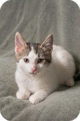 Domestic Shorthair Cat for adoption in Macomb Twp, Michigan - Maria-used to be called Scout