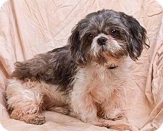 Shih Tzu Dog for adoption in Anna, Illinois - CANDY