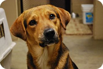 Beagle Mix Dog for adoption in Hershey, Pennsylvania - Hummer