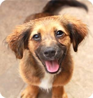 Papillon/Dachshund Mix Puppy for adoption in Norwalk, Connecticut - Cher