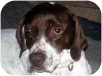 English Pointer Dog for adoption in Warren, New Jersey - Dot