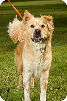 Shar Pei/Golden Retriever Mix Dog for adoption in Scottsdale, Arizona - Coco
