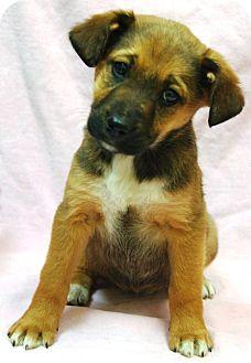 Australian Shepherd Mix Puppy for adoption in Washington, D.C. - Kiah