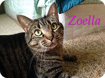 Domestic Shorthair Cat for adoption in Foothill Ranch, California - Zoella