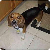 Adopt A Pet :: Sir Peanut - Phoenix, AZ