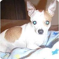 Adopt A Pet :: Bambino - Pembroke Pines, FL