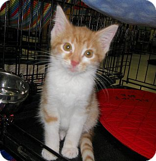 Domestic Shorthair Kitten for adoption in Fort Wayne, Indiana - Fonzie