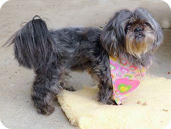 Shih Tzu Dog for adoption in Sacramento, California - Sophia 12 tiny cute pounds
