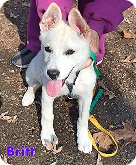 Shepherd (Unknown Type)/Labrador Retriever Mix Puppy for adoption in Franklinton, North Carolina - Britt-