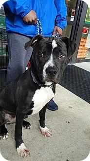 American Bulldog Mix Dog for adoption in Goldsboro, North Carolina - Swaggy