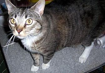 Domestic Shorthair Cat for adoption in Liberty, North Carolina - Murphy - NC