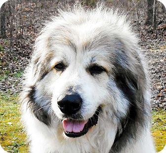 Great Pyrenees/Anatolian Shepherd Mix Dog for adoption in Salem, New Hampshire - BUNNY