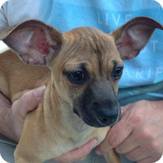 Chihuahua/Dachshund Mix Dog for adoption in Hagerstown, Maryland - Violet