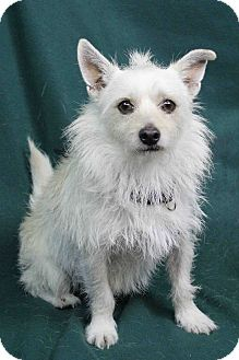 Terrier (Unknown Type, Small) Mix Dog for adoption in Westminster, Colorado - Einstein