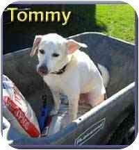 Beagle Mix Dog for adoption in Aldie, Virginia - Tommy, Sr.