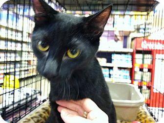 Domestic Shorthair Cat for adoption in Fenton, Missouri - JASPER