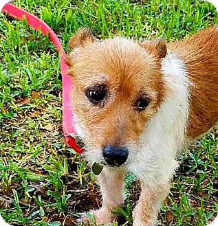 Jack Russell Terrier Dog for adoption in Terra Ceia, Florida - DAISY