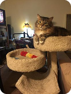 Maine Coon Cat for adoption in Los Angeles, California - Fluffy