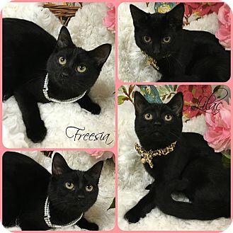 Domestic Shorthair Kitten for adoption in Joliet, Illinois - Lilac