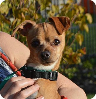 Chihuahua/Brussels Griffon Mix Dog for adoption in Palatine, Illinois - Howie