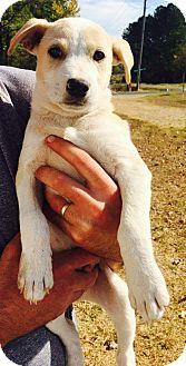 Labrador Retriever/Golden Retriever Mix Puppy for adoption in Goodlettsville, Tennessee - Max