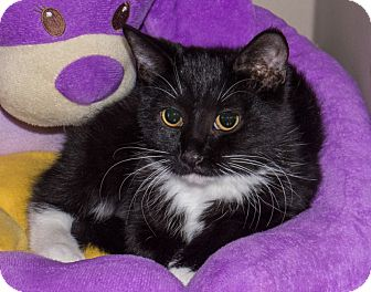 Domestic Shorthair Kitten for adoption in Elmwood Park, New Jersey - Ava