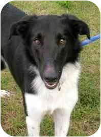 Collie Mix Dog for adoption in Walker, Michigan - Eeyore