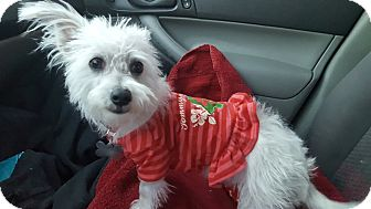 Terrier (Unknown Type, Small) Mix Dog for adoption in Las Cruces, New Mexico - Lindy