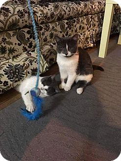 Domestic Shorthair Kitten for adoption in Toronto, Ontario - Benny