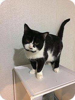 Domestic Shorthair Cat for adoption in Broadway, New Jersey - Mötley Crüe - Barn Cat