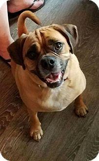 Beagle/Pug Mix Dog for adoption in Sanford, Florida - Nieko