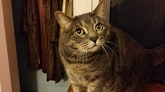 Domestic Shorthair Cat for adoption in Berlin, Connecticut - Kasia-HELP!