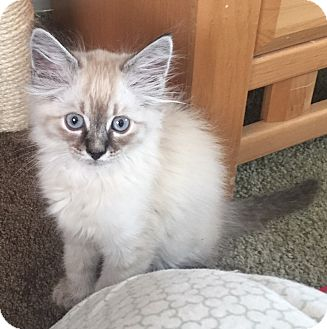 Ragdoll Kitten for adoption in Cerritos, California - Dylan