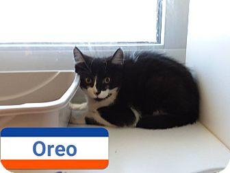 Domestic Shorthair Kitten for adoption in Edgewood, New Mexico - Oreo