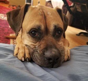 Boxer/Mastiff Mix Dog for adoption in West Allis, Wisconsin - Soldier