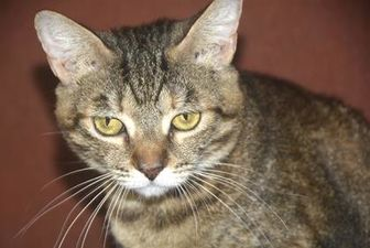 Domestic Shorthair/Domestic Shorthair Mix Cat for adoption in St. Thomas, Virgin Islands - CELESTE