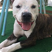 Adopt A Pet :: Lacey - Staten Island, NY