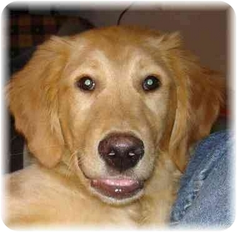 Golden Retriever Puppy for adoption in Wyoming, Minnesota - Golden Puppies