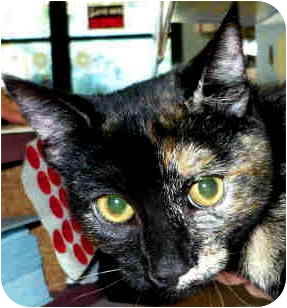 Domestic Shorthair Cat for adoption in San Clemente, California - KAYLA