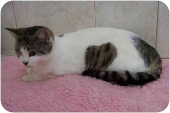 Domestic Shorthair Cat for adoption in Brighton, Michigan - Sandy