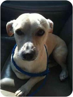 Chihuahua Mix Dog for adoption in Arlington, Texas - Barney