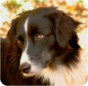 Border Collie Dog for adoption in Oliver Springs, Tennessee - Carley