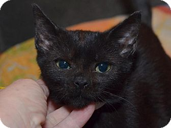 Bombay Kitten for adoption in Brooklyn, New York - Ming