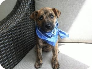 Labrador Retriever/Hound (Unknown Type) Mix Puppy for adoption in Marlton, New Jersey - Baby Chance