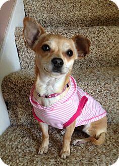 Dachshund/Chihuahua Mix Dog for adoption in Snohomish, Washington - Honey